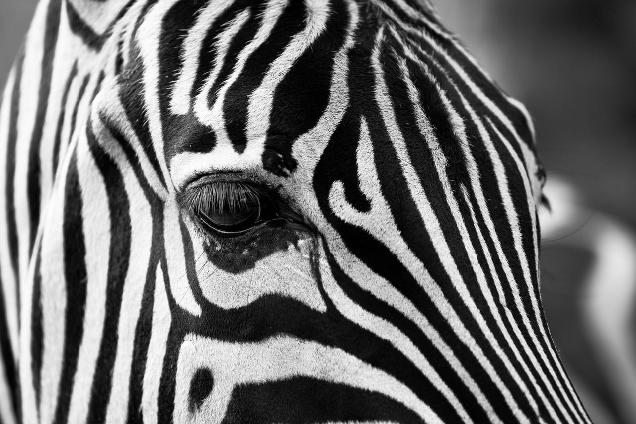 what is the opposite of black - business english success - zebra